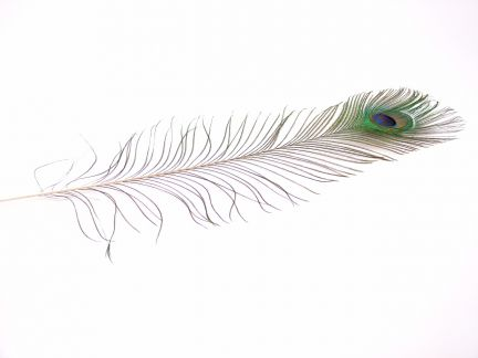 Peacock Tail Feathers (Pack of 5)